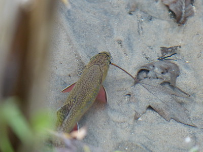 Brook Trout - this female was pre-spawn and appeared to be staging in a quiet section of the creek