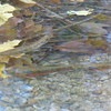 Brook Trout - one female and two males (brighter red)