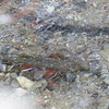 Brook Trout - breeding pair over redd