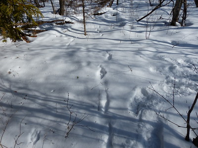 Eastern Cottontail & Coyote - tracks and trails. This scene shows the convergence of trails for an Eastern Cottontail (left) and Coyote (right) during a high speed chase. While the Eastern Cottontail ran from the Coyote it acheived strides of 8' between track sets.