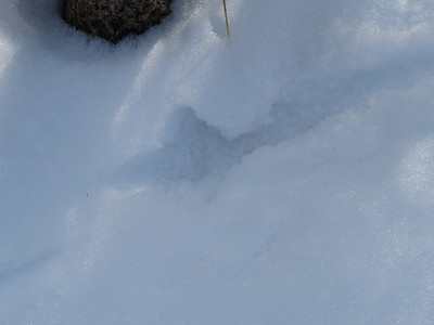 Ruffed Grouse - tracks