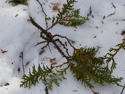 Porcupine - nip twig
