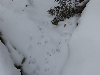 Shrew sp - tracks