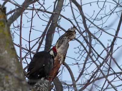 Pileated Woodpecker - female
