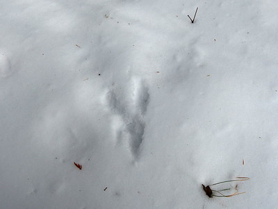 Red Squirrel - tracks