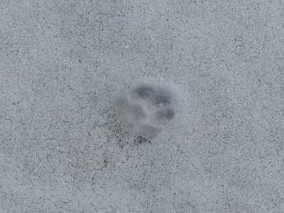 Domestic Cat - tracks