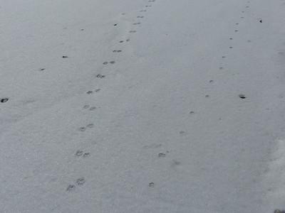 Raccoon (left) Domestic Cat (right) - tracks & trails