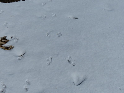 American Mink - tracks & trail