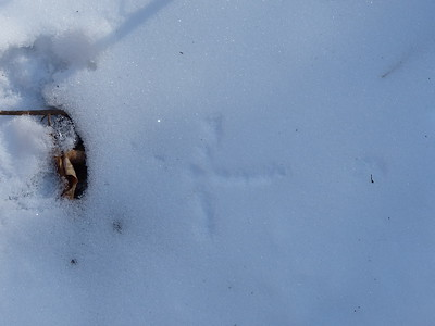 Ruffed Grouse - track