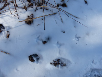 Ruffed Grouse - tracks & trail