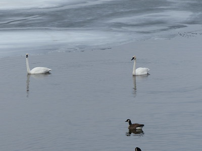 Trumpeter Swan and Canada Goose
