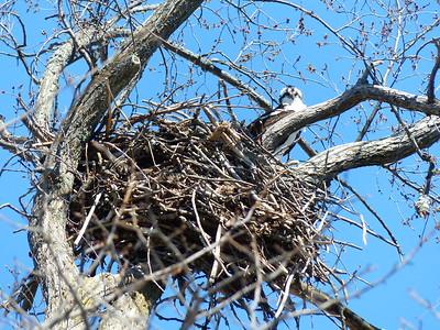 Osprey - nest
