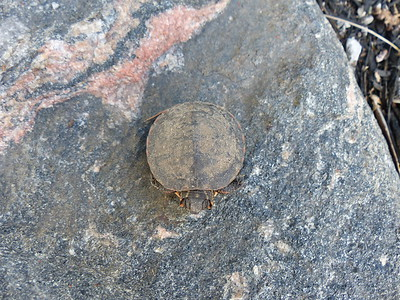 Midland Painted Turtle - juvenile