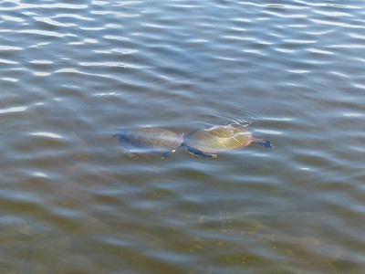 Midland Painted Turtle - courtship behaviour