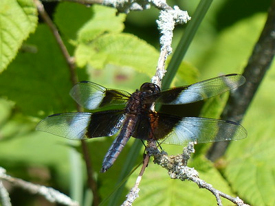Widow Skimmer - male
