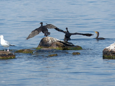 Double-crested Cormorant & Herring Gull