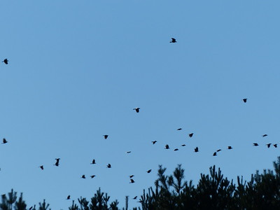American Crow - part of a large flock of 200+ birds
