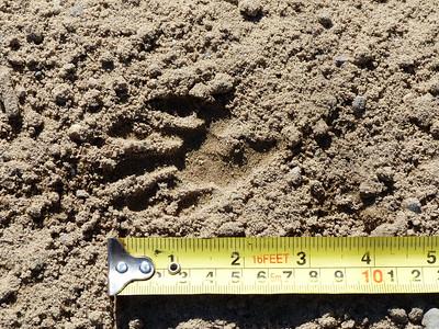 Raccoon - tracks