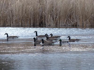 Canada Goose (plus Mallard)