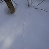 Northern Short-tailed Shrew - tracks