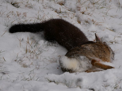 American Mink attacking and killing an Eastern Cottontail