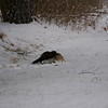 American Mink attacking and killing an Eastern Cottontail - Mink is dragging the Cottontail to protected feeding area