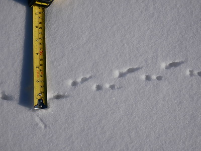 Meadow Vole - tracks and trail