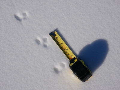 Smoky Shrew - tracks