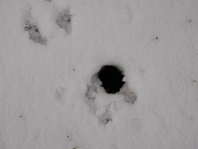 Eastern Chipmunk - den entrance hole