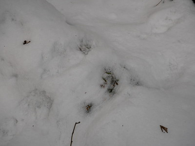 Porcupine - tracks and trail, also some quill drag marks