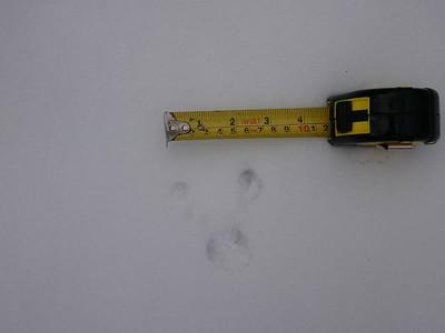 Eastern Chipmunk - tracks