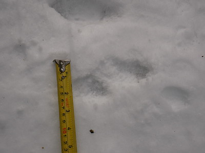 Long-tailed Weasel - tracks
