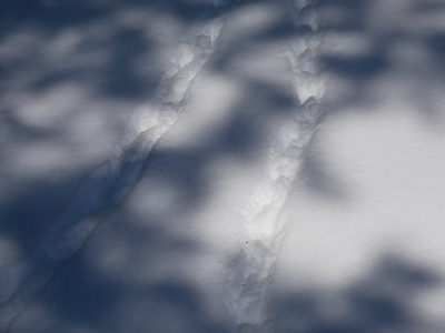 Ruffed Grouse - tracks and trail