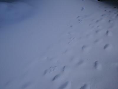 American Marten - tracks