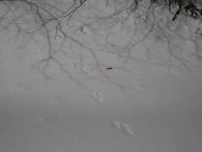 American Marten - tracks and trail