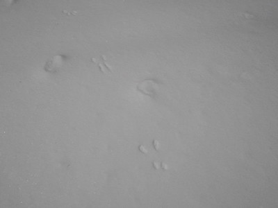 Red Squirrel - tracks and trail