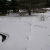 Eastern Wolf - tracks and trail
