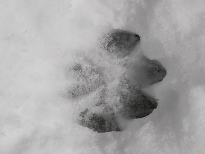 Eastern Wolf - track