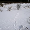 Eastern Wolf - tracks and trail, this was a second trail likely produced by a different Wolf than the one along the Beaver dam