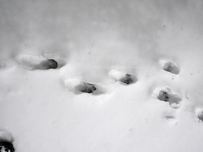 Eastern Wolf - tracks