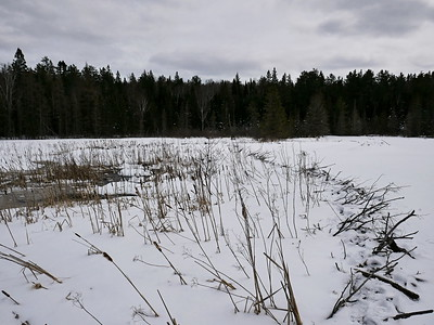 Eastern Wolf - trail observed along Beaver dam with tracks veering off to the right