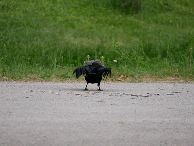 American Crow - killing and removing feathers from an American Robin juvenile