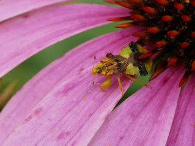 Ambush Bug - Phymata sp