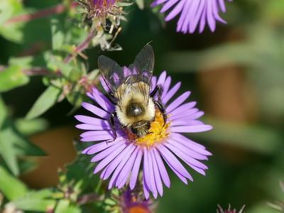 Common Eastern Bumblebee?