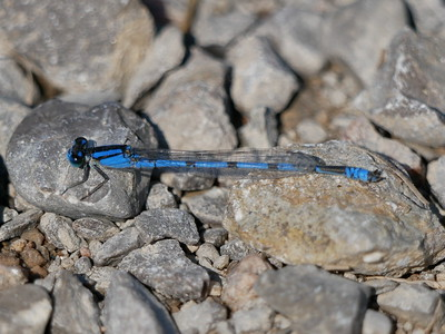 species? of Bluet damselfly