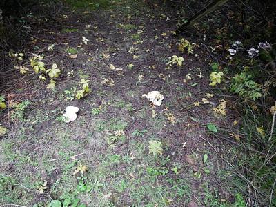 Oyster Mushroom ?