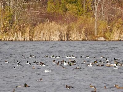 Migrating fall ducks