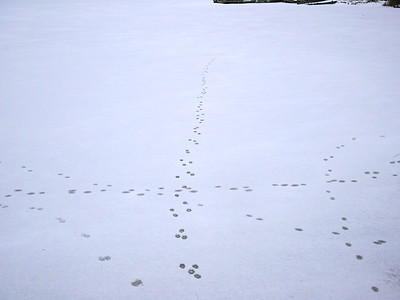 Red Fox - tracks and trails