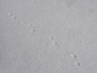 Red Fox - tracks & trail