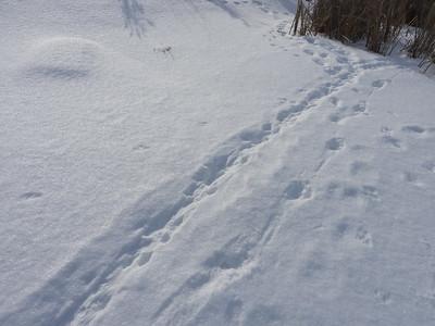 American Mink - trail